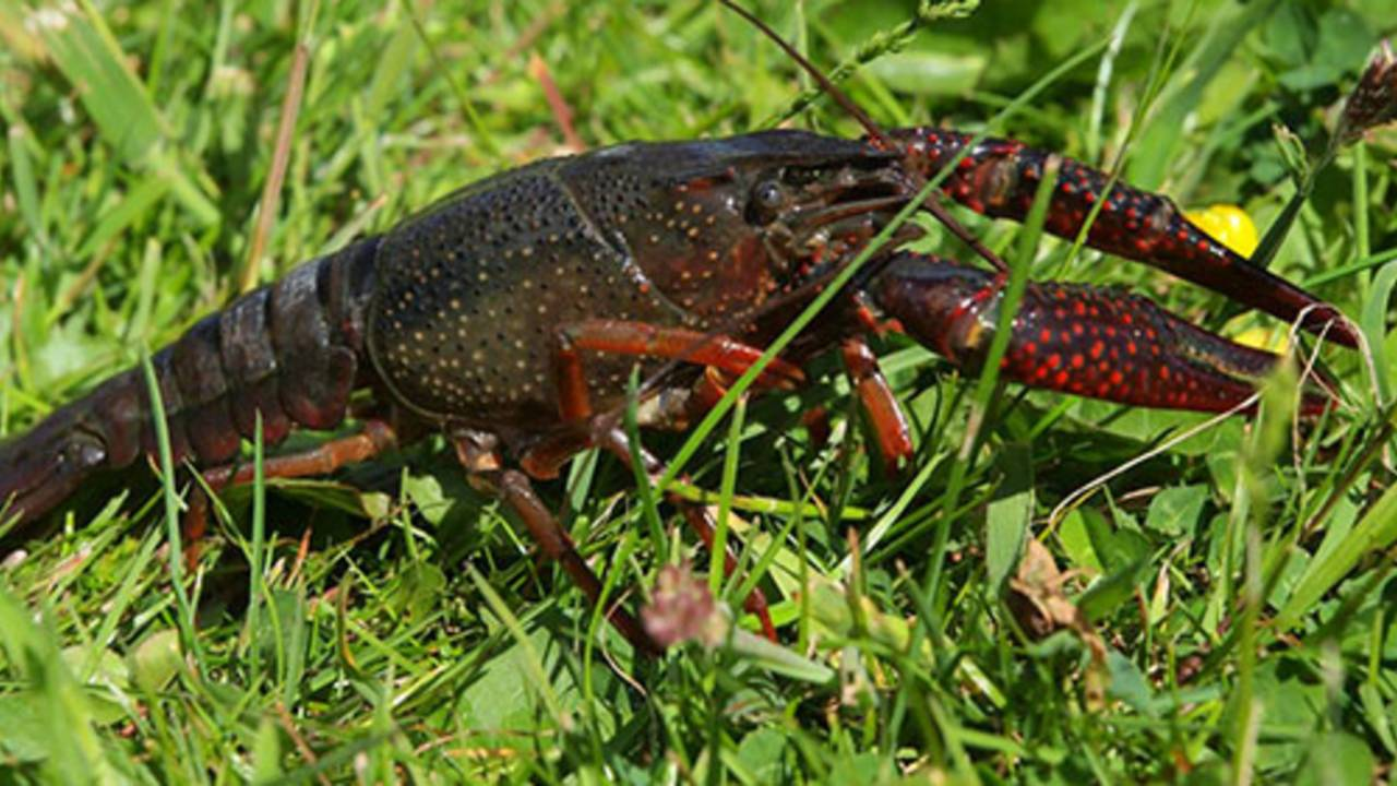 Dnr Record Amount Of Illegal Red Swamp Crayfish Seized In