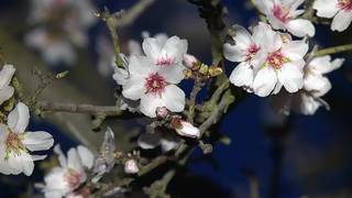 Almond growers prepare for freezing temperatures