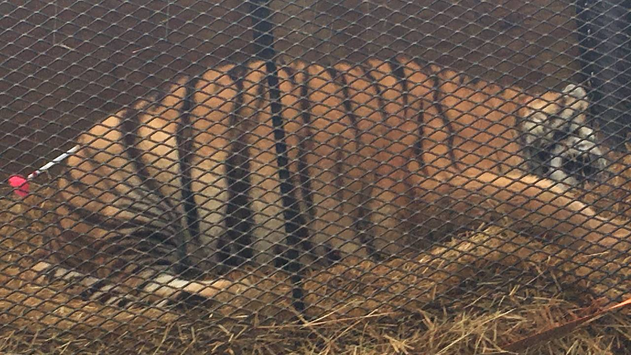 tiger found at southeast Houston home