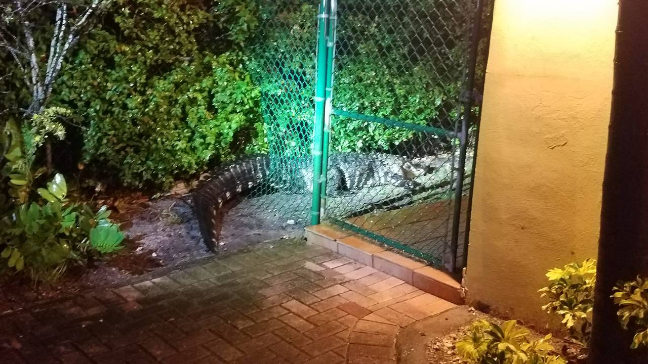 Wildlife officials trap 10-foot alligator wandering around Little Havana