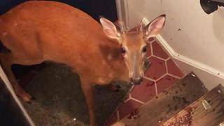 Deer Breaks Into New Jersey Home, Gets Trapped in Stairwell