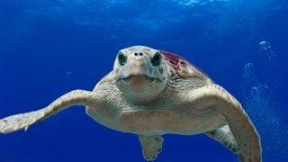 Florida sea turtles have record nesting season, despite red tide algae