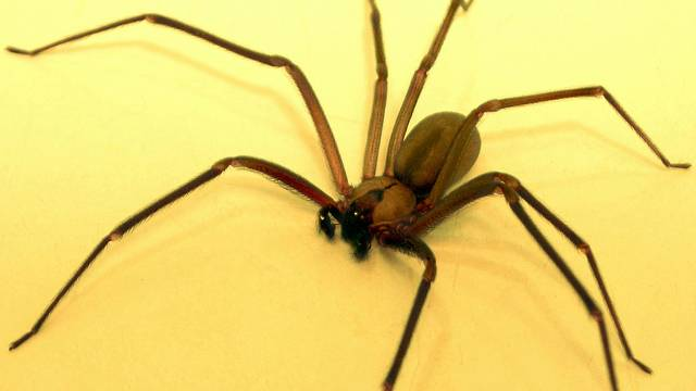 brown recluse spiders in michigan pest control company offers