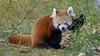Go inside Detroit Zoo's newly expanded red panda forest