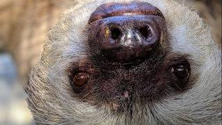 Cute! St. Augustine Alligator Farm unveils two-toed sloths