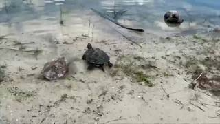 Woman talks about finding turtles chained in Miami Beach