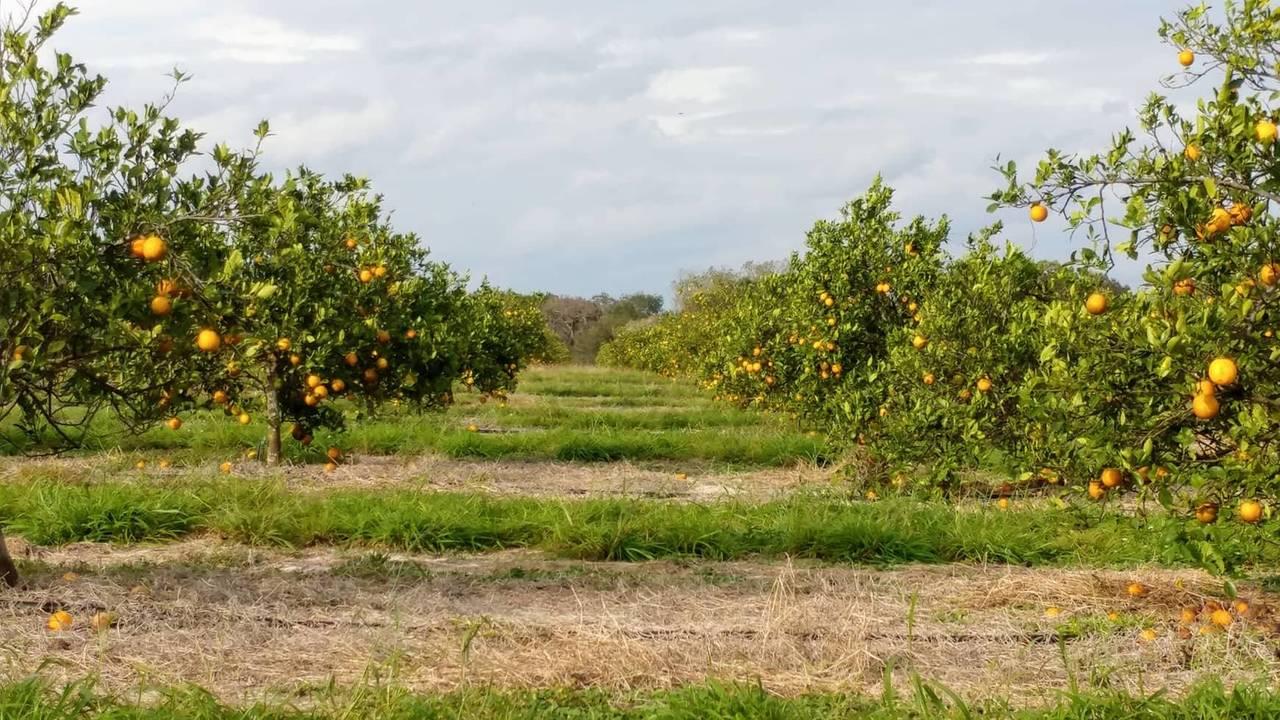 ridge island grove pineapple_oranges_1548096230757.jpg.jpg