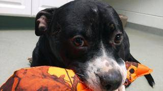 Dog Shot in the Head And Left For Dead Makes Miraculous Recovery