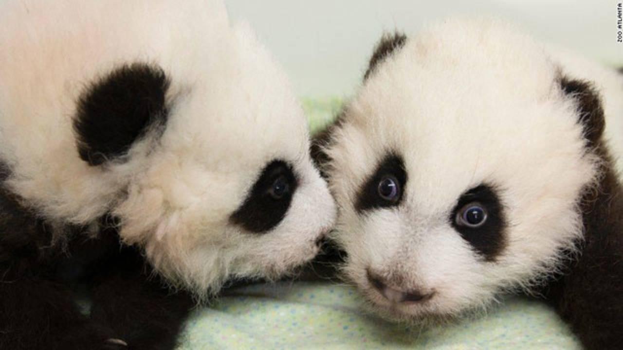 Atlanta twin pandas64839997-75042528