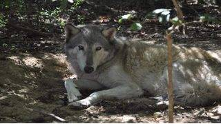 Wolf missing after Hurricane Michael found in Florida