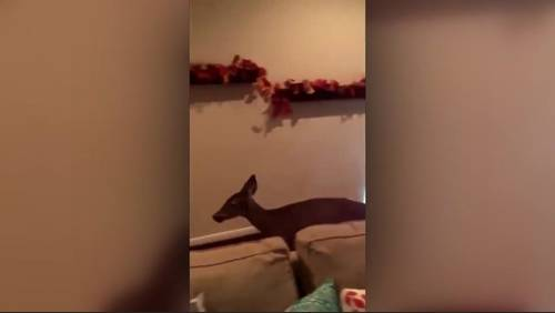 Uninvited guest: Deer jumps through window, roams Kingwood home