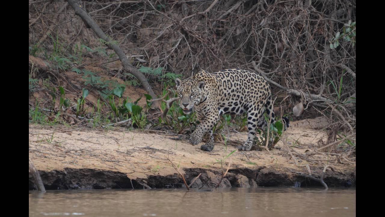 Other jaguar 2_1570414367269.jpg.jpg