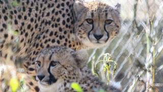 Jacksonville Zoo adds 2 new, adorable cheetahs