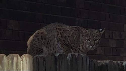 Bobcat spotted in Greatwood neighborhood