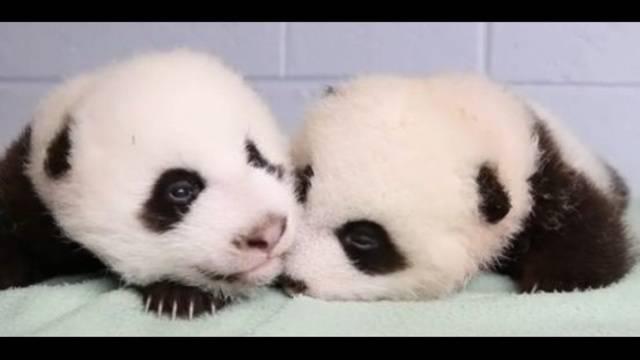 Baby-pandas.jpg_22758328