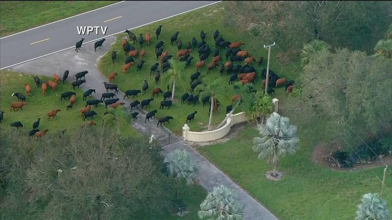 Cows herded WPTV aerial