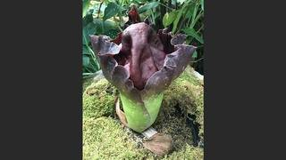 Meet stinky Lou: Corpse flower blooming at Houston Museum of Natural Science