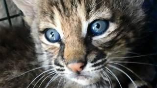 Family says it mistook bobcat kittens for Bengal kittens