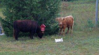 Lost cows wander onto Michigan property causing udder chaos