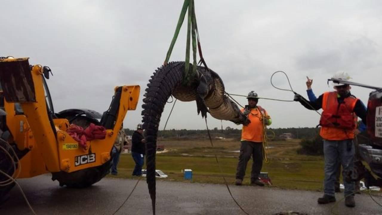 Large alligator caught in Parrish