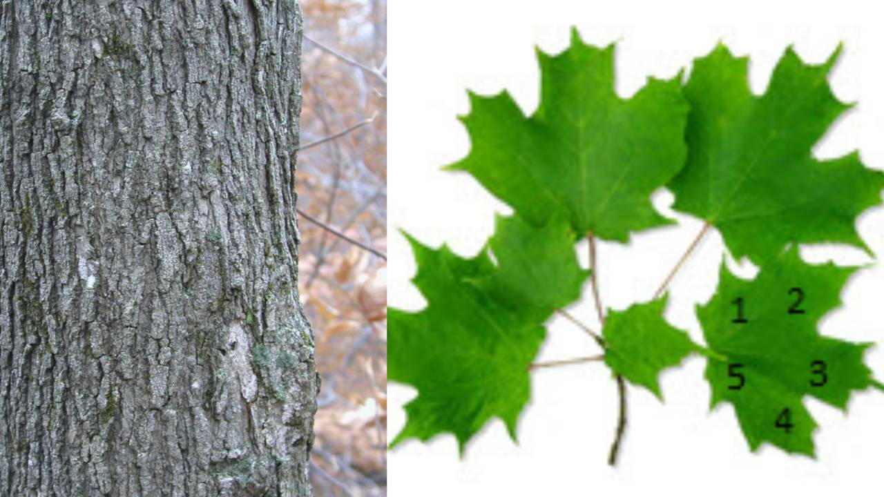 sugar maple trees_1563795586876.jpg.jpg
