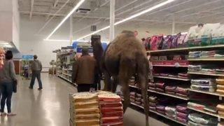 WATCH: Man takes camel into PetSmart for an adventure