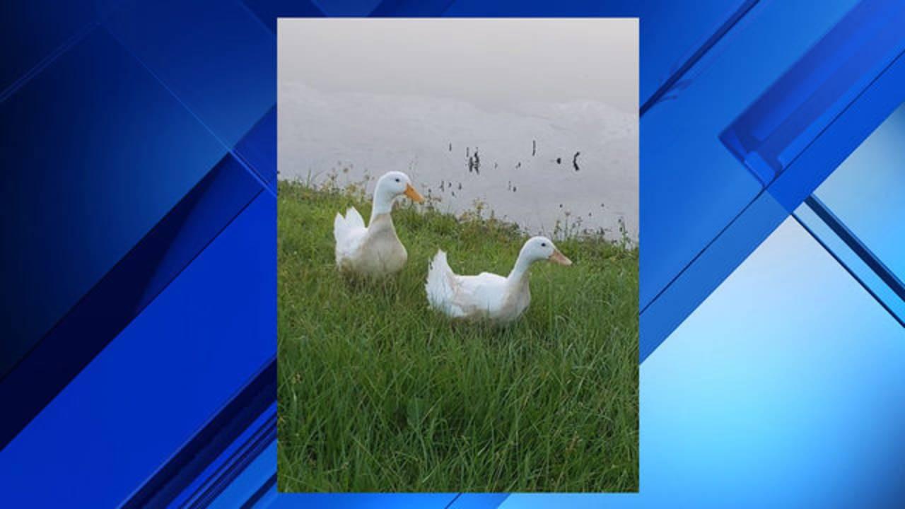 Ducks-for-web_1532889656734.jpg