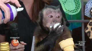 Monkey business on SA Live