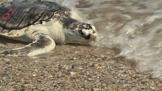 36 sea turtles released in waters off Little Talbot Island