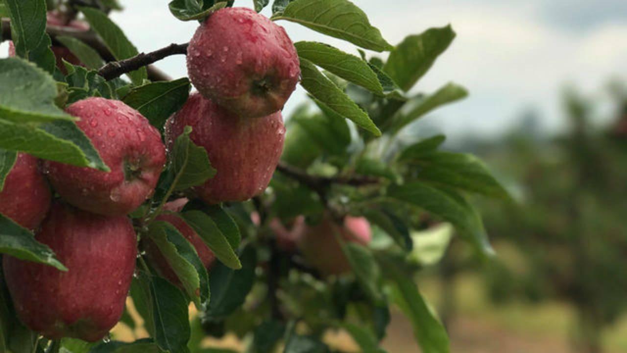 Wiards Apples