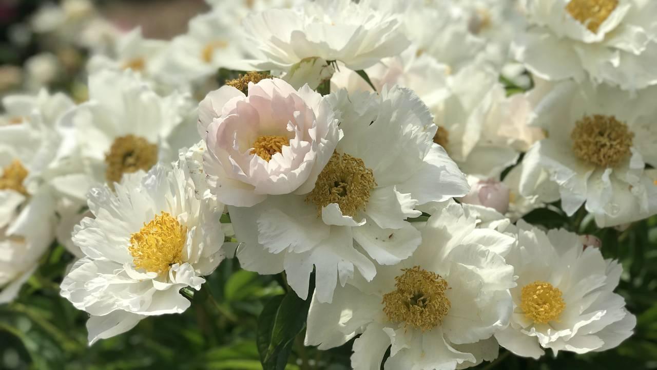 Ann Arbor peonies white