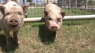 Potbelly pigs found in North Side backyard in ACS care