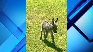 Baby donkey stolen from Ocala family's field, woman says