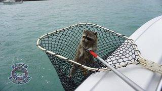 Video: Stranded raccoon rescued from Florida waters -- twice