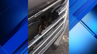Great horned owl stuck on SUV grill from Roanoke to Petersburg