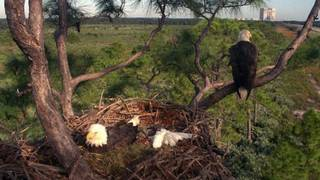 Tree supporting KSC's famous bald eagle nest has died