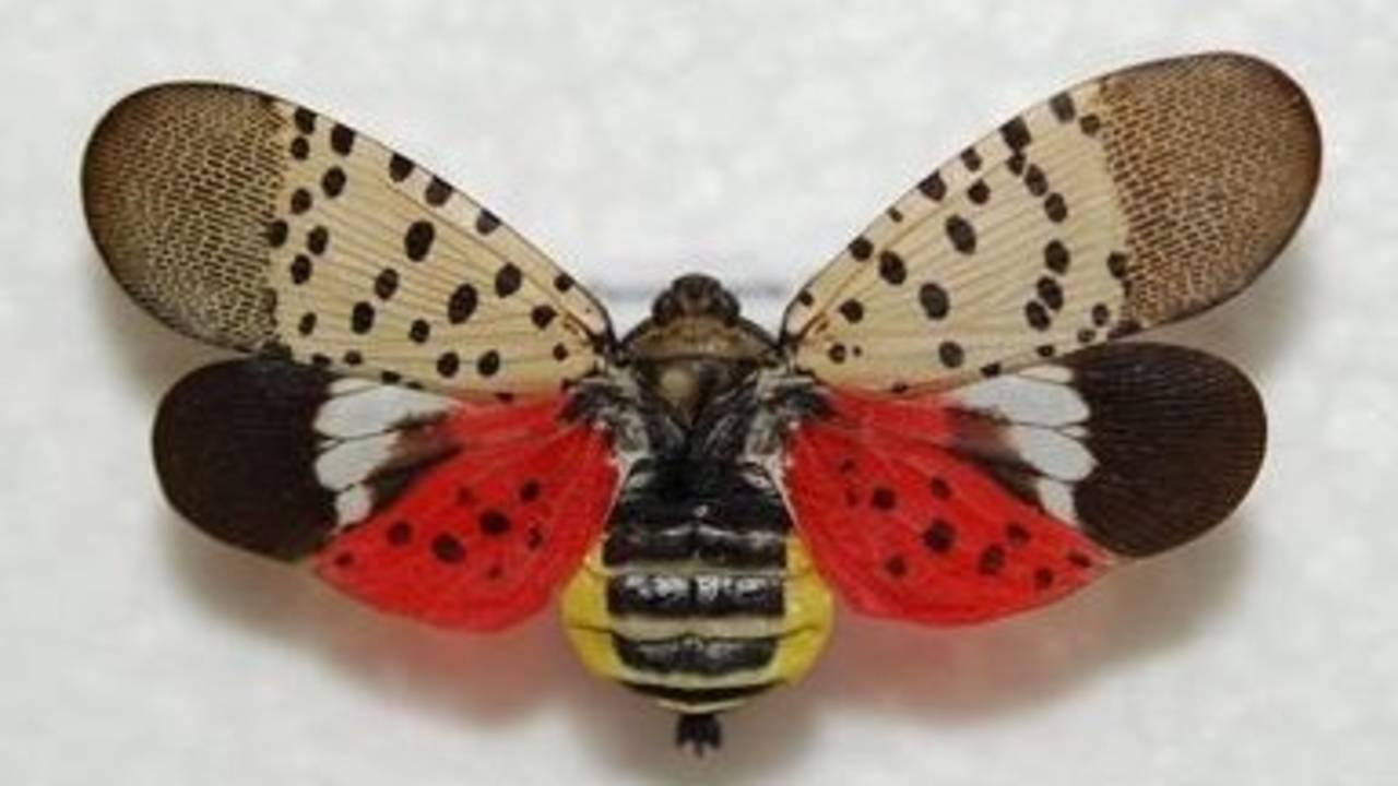 spotted lanternfly_1556018018994.jpg.jpg