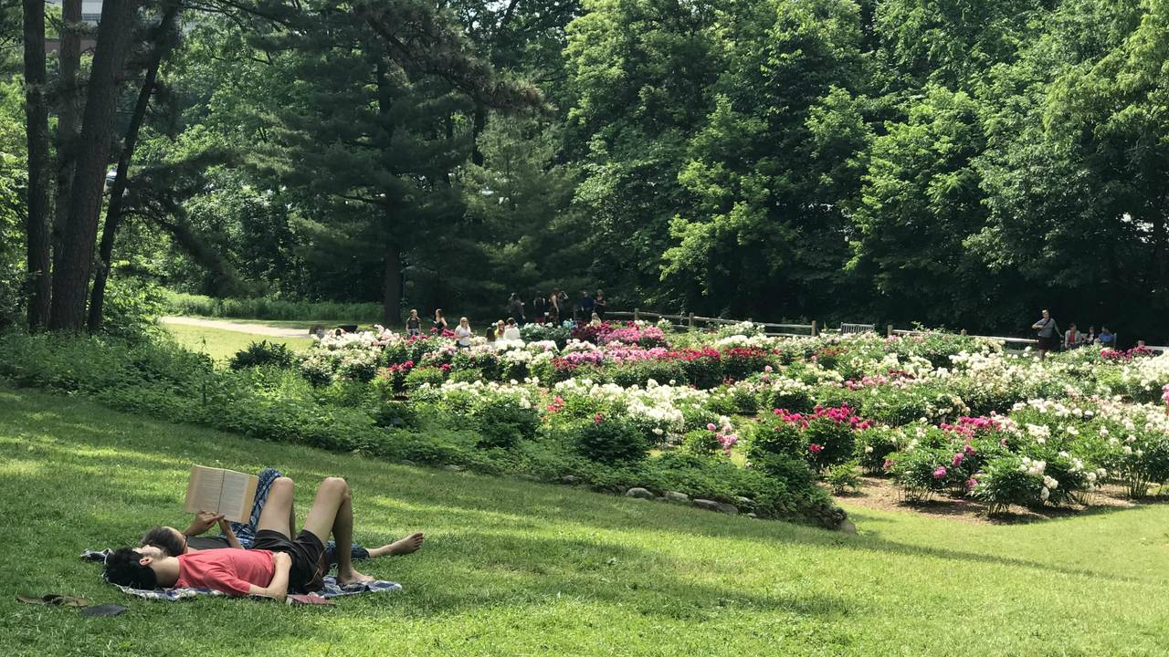 Ann Arbor peonies relax