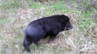 Did you lose a pig? Jacksonville Sheriff's Office found one