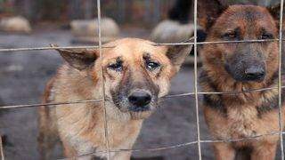 21 German shepherds rescued from hoarding situation need your help