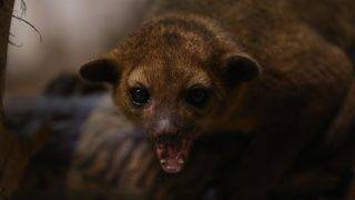 Man Attacked by Kinkajou: 'It Sounded Like a 300-Pound Man Was…