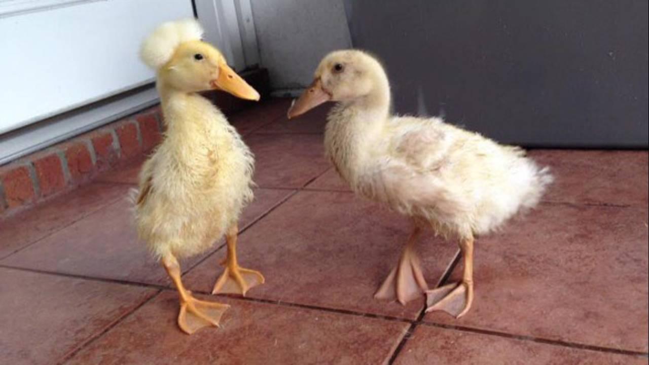 ducks_1562360910244.jpg