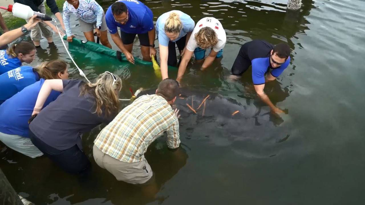 Jacksonville Zoo Releases 1st Manatee Critical Care Patient