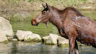 Alaskan moose euthanized after suffering from unknown illness at Michigan zoo