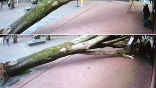 Large tree almost falls on woman pushing stroller