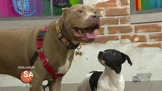 Alamo City Pit Bull Rescue turns five!