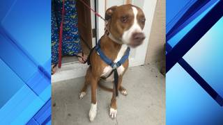 Pit bull mix attacks 76-year-old pizza delivery man, deputies say