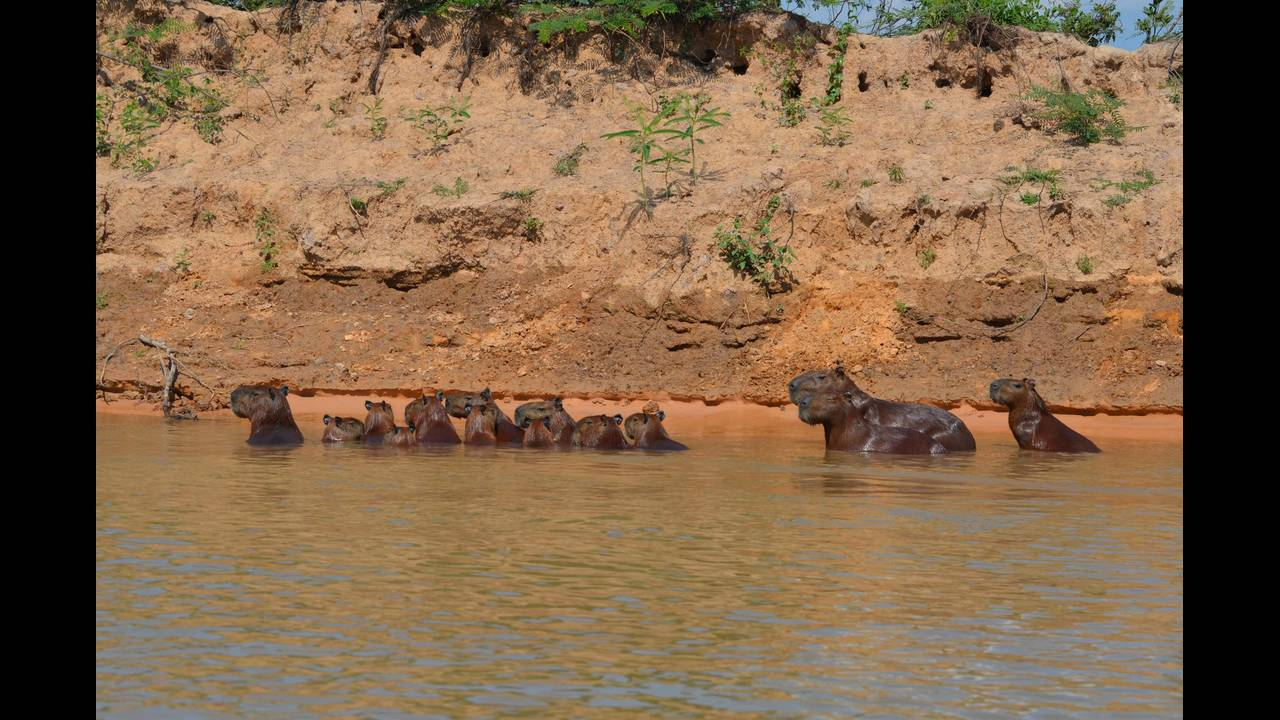 Capybara _1570337130154.jpg.jpg