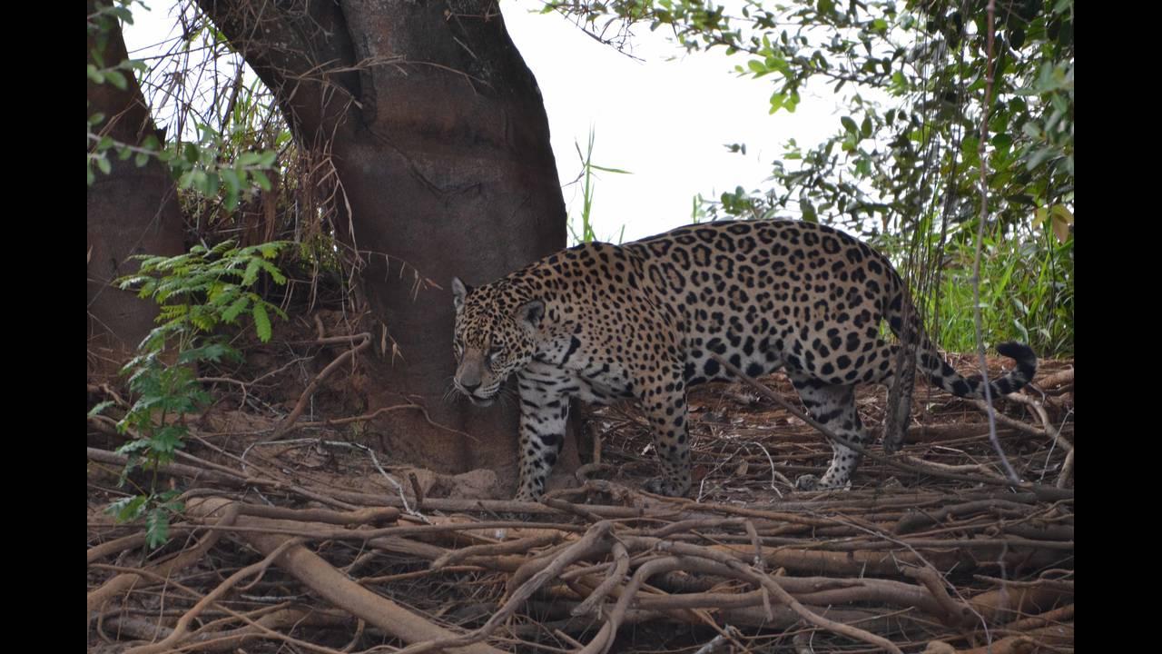 Other jaguar 1_1570414367167.jpg.jpg