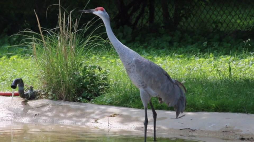 Sandhill crane at Detroit Zoo